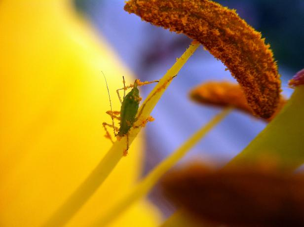 olloclip: Bug on Lily Covered in Pollen - Macro
