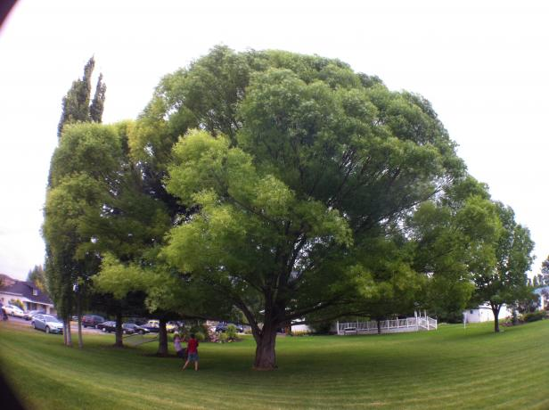 olloclip: Tree in Yard - Wide Angle